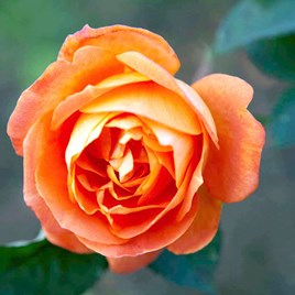 Rose Plant -Super Trouper
