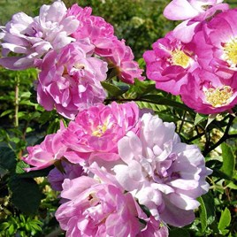 Rose Seeds - Garden Party