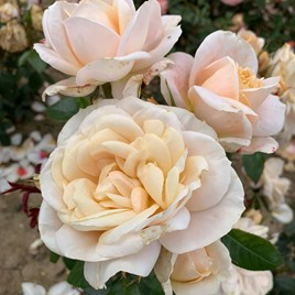 Rose Plant - Champagne Moment