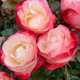 Rose Plant - Nostalgie