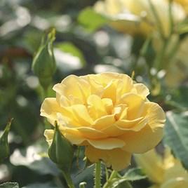 Rose Plant - Precious Gold