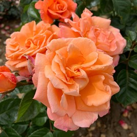 Rose Plant -Scent From Heaven