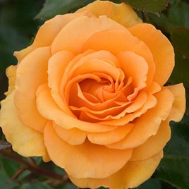 Rose Plant - Super Trouper
