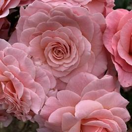Rose Plant - Tickled Pink