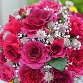 Rose Plant - Timeless Purple