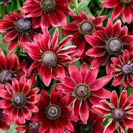 Rudbeckia Potted Plants - Cherry Brandy