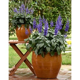 Salvia Plant - Mysty