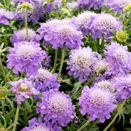 Scabiosa Plants - Blue Note