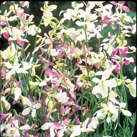 Night Scented Stock Seeds - Evening Fragrance
