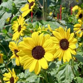 Sunflower Small Yellow Flower