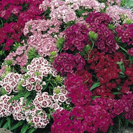 Sweet William Seeds - Pinocchio