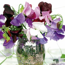 Sweet Pea Seeds - Long Stem Mixed