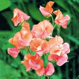 Sweet Pea Seeds - Prince of Orange