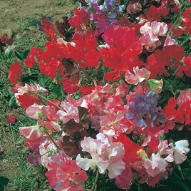 Sweet Pea  - Fragrant Tide (Acacia Intermediate Mix)