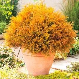 Conifer Plant - Thuja Rheingold