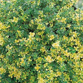 Herb Plant - Thyme (Lemon) Doone Valley