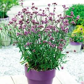 Verbena Plant - bonariensis Lollipop