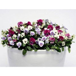 Viola Raspberry Sundae (6) P9