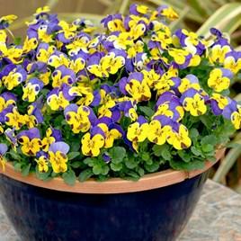 Viola Plants - Yellow/Blue Jump Up