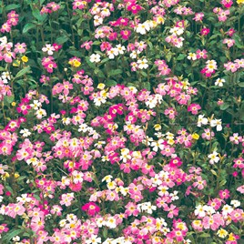 Virginia Stock Seeds - Spring Sparkle