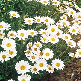 Ox-Eye Daisy Seeds
