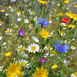 Native British Wildflower Mix Seeds - Patio Pots