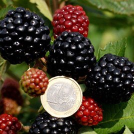 Blackberries Asterina