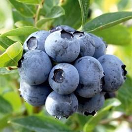 Blueberry Duke 2Ltr