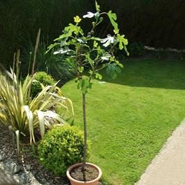 Fig (Ficus) Brown Turkey Standard