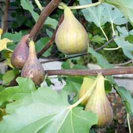 Fig Plant (Organic) - Peretta