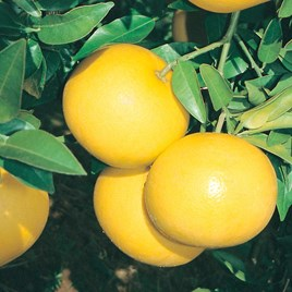 Citrus Tree - Grapefruit