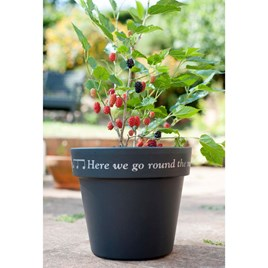Mullberry - Charlotte Russe Standard + FREE Pot