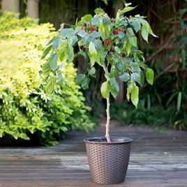Mulberry Dwarf Bush - Charlotte Russe Standard (Mojo Berry)