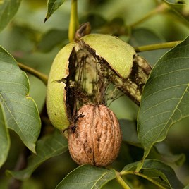 Nut Walnut Europa