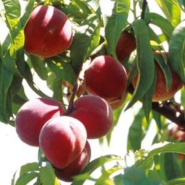 Peach Tree - Avalon Pride