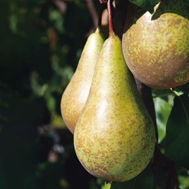 Patio Fruit Tree Pear Conference 4Ltr