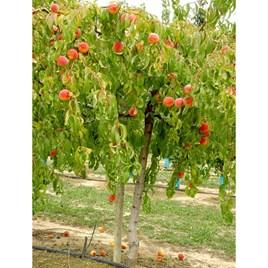 Peach Weeping Peach Lacrima