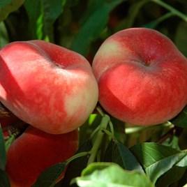 Peach Jalousia (1)