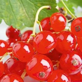 Redcurrant Plants - Rovada (1)