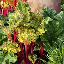 Rhubarb Crowns - Victoria