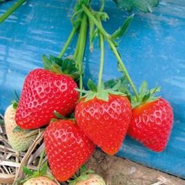 Strawberry Plants - Malling Centenary