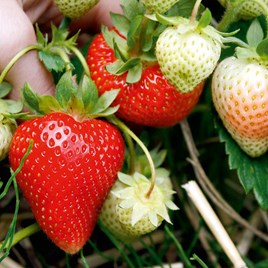 Strawberry Plants - Sweetheart