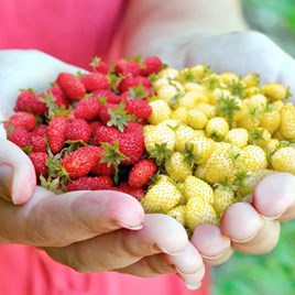 Strawberry Seeds - Red & White Wild Mix