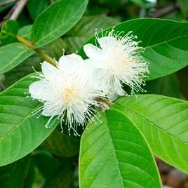 Guava Plant - 2LTR
