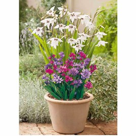 Plant-o-Mat Classic - Acidanthera/Brodlaea