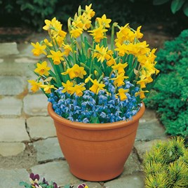 Plant-O-Tray Patio Pre-planted Bulbs - Narcissus & Scilla(19)