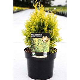 Thuja occidentalis Plant - 'Golden Smaragd'