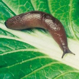 Nematode Slug Killer - 100m²