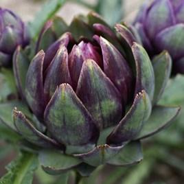 Artichoke Purple Globe (6)