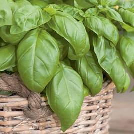 Herb Plant - Basil D-Fencesil(Genovese)